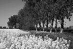 Europa, DEU, Deutschland, Nordrhein Westfalen, NRW, Rheinland, Niederrhein, Alpen, Agrarlandschaft, Bluehendes Rapsfeld, Fruehling, Raps, Baeume, Typische Landschaft, Kategorien und Themen, Landwirtschaft, Landwirtschaftlich, Agrar, Agrarwirtschaft, Natur, Naturfoto, Naturfotos, Naturfotografie, Naturphoto, Naturphotographie, Landschaft, Landschaften, Landschaftsfoto, Landschaftsfotografie, Landschaftsphoto, Landschaftsphotographie<br /> <br /> <br /> [Fuer die Nutzung gelten die jeweils gueltigen Allgemeinen Liefer-und Geschaeftsbedingungen. Nutzung nur gegen Verwendungsmeldung und Nachweis. Download der AGB unter http://www.image-box.com oder werden auf Anfrage zugesendet. Freigabe ist vorher erforderlich. Jede Nutzung des Fotos ist honorarpflichtig gemaess derzeit gueltiger MFM Liste - Kontakt, Uwe Schmid-Fotografie, Duisburg, Tel. (+49).2065.677997, schmid.uwe@onlinehome.de, www.image-box.com]