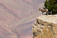 Desert Bighorn Sheep--young ram.  Grand Canyon National Park, Arizona.