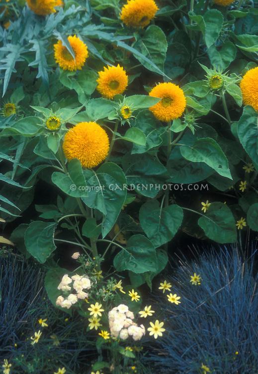 Sunflowers Teddy Bear Helianthus annuus growing in garden