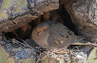 A Mourning Dove, Zenaida macroura, nests in a Saquaro cactus, Carnegiea gigantea, in the Riparian Preserve at Water Ranch, Gilbert, Arizona