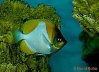 0120-08oo  Yellow Pyramid Butterfly Fish - Hemitaunchthys polylepis © David Kuhn/Dwight Kuhn Photography