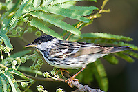 Blackpoll Warbler, South Padre Island, Texas