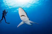 blue shark (Prionace glauca), and scuba diver, Pico Island, Azores, Portugal, Atlantic Ocean