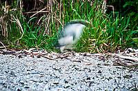 Fiordland Crested Penguin - Tawaki - on remote West Coast beach - South Westland, West Coast, New Zealand