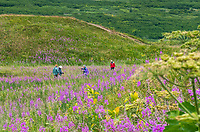 Hikers in Summer wildflower meadow field with Fireweedat Turnagain Pass in Chugash National Forest on Kenai Peninsula, Alaska