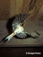 BA02-002z   Barn Swallow - adult flying to nest of young birds - Hirundo rustica
