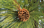 Ponderosa pine tree cone and pine needles