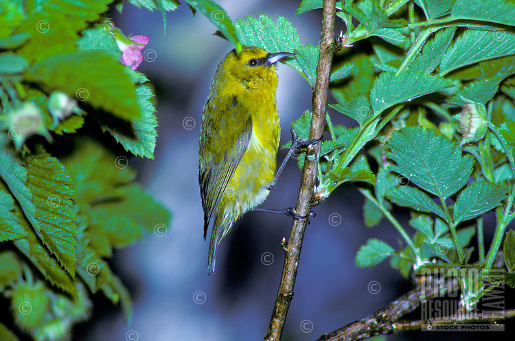 Common amakihi, (hemignathus virens). Four distinct species are found on Hawaii, Oahu, Kauai and Molokai.