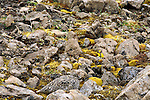 A White-Tailed Ptarmigan in summer plumage blends in with its rocky surroundings.  Wrangell Saint Elias National Park, Alaska, USA