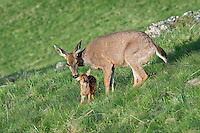 Columbian black-tailed deer (Odocoileus hemionus columbianus) doe greeting/cleaning young fawn. Pacific Northwest.  Summer.