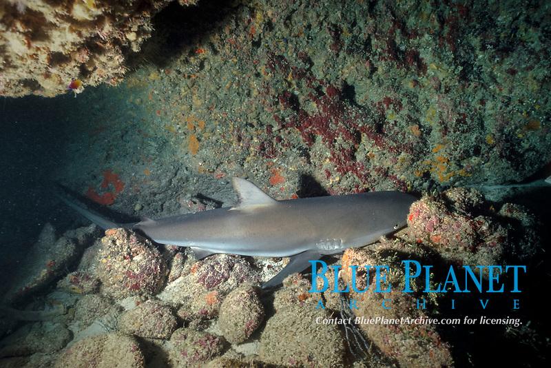 sleeping Caribbean reef shark, Carcharhinus perezii, resting in cave, Bahamas, Caribbean Sea, Atlantic Ocean