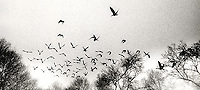 Birds in flight over trees<br />