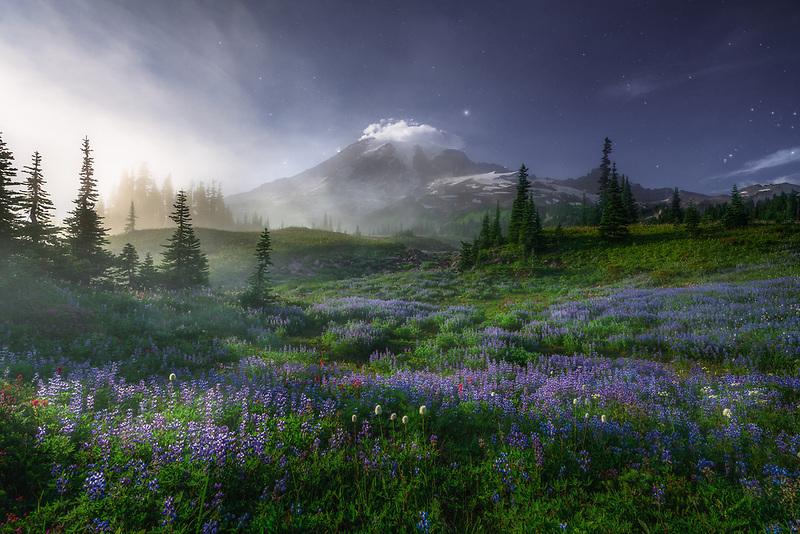 Mount Rainier and field of wild lupine. Mount Rainier National Park, WA