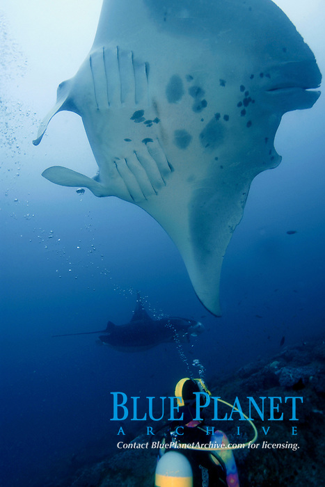 A reef manta ray, manta alfredi, Mozambique, Africa, Indian Ocean Note large shark bite at rear.