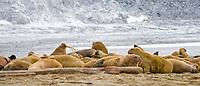 Pod of Atlantic walruses, Odobenus rosmarus rosmarus, Phippsoya, Sjuoyane, Svalbard Archipelago, Svalbard and Jan Mayen, Norway, Europe