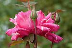 ROSA 'CARELESS LOVE', HYBRID TEA ROSE