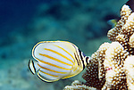 Moorea, French Polynesia; Ornate Butterflyfish (Chaetodon ornatissimus), usually in pairs, found in coral rich areas of clear water lagoons and seaward reefs to 36 meters in the Indo-Pacific Ocean region, Maldives to Indonesia, Philippines, Micronesia and French Polynesia. S.W. Japan to N.W. & N.E. Australia, to 20 cm , Copyright © Matthew Meier, matthewmeierphoto.com All Rights Reserved