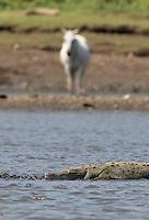 Large crocodiles call the Rio Tarcoles home.