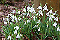 Snowdrop (Galanthus 'Trotter's Merlin'), early February.