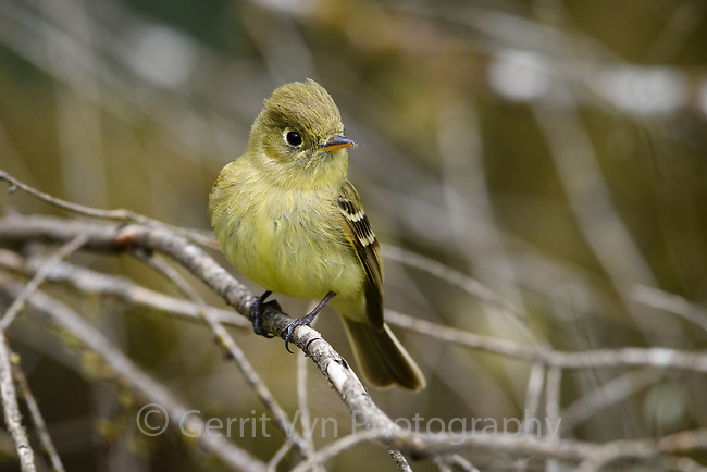 Pacific-slope Flycatcher (Empidonax difficilis). Oregon. April.