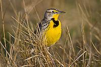 Western Meadowlark (Sturnella neglecta). Western U.S., spring.