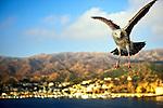 Flying gull near Catalina, California