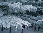 LaSalle County, IL:  Hoar frosted branches on winter pines