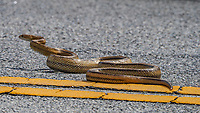 A Rat Snake slithers across a road in Merritt Island , Florida in May 2020(Photo by Brian Cleary/bcpix.com)