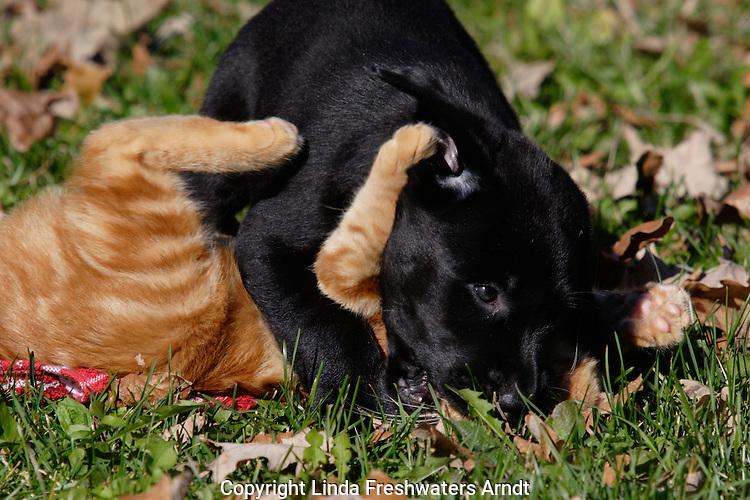 Black Labrador retriever puppy (AKC) playing with a kitten.  Fall.  Birchwood, WI