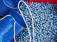 Blueberry harvest, New Jersey, USA