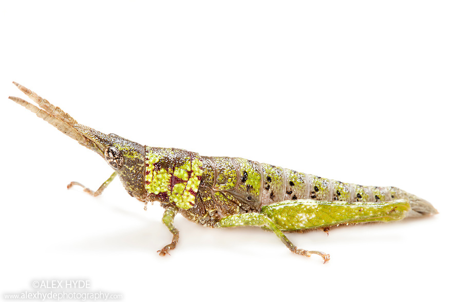 Tropical short horned grasshopper {Acrididae} photographed on white background, tropical rainforest, Andasibe-Mantadia National Park, Madagascar.