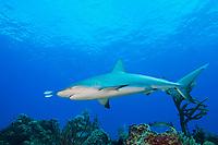 Caribbean Reef Shark, Carcharhinus perezii, led by a pair of juvenile Bar Jacks, Caranx ruber, West End, Grand Bahamas, Atlantic Ocean