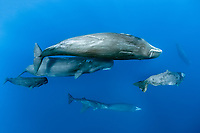 pod of sperm whales swimming, Physeter macrocephalus, Dominica, Caribbean Sea, Atlantic Ocean, photo taken under permit n°RP 16-02/32 FIS-5