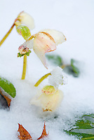 Helleborus in winter snow ice,  cream with pink flowers, perennial winter blooming hellebores