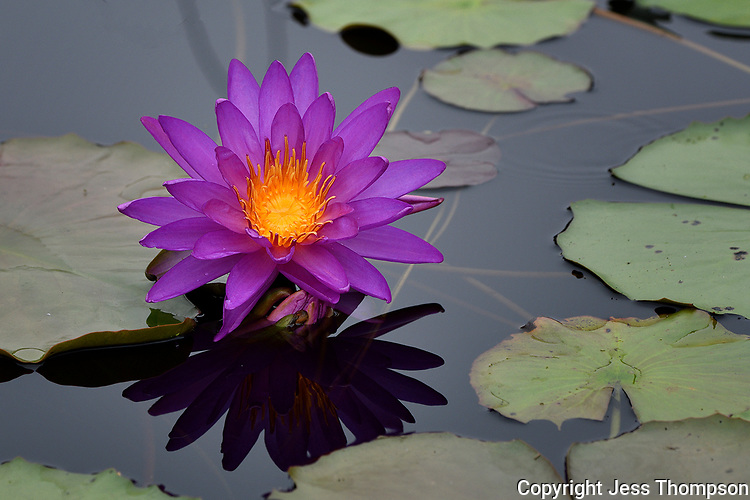 Water Lily, San Angelo, Texas