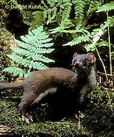 MA21-027z   Long-Tailed Weasel - summer brown coat - Mustela frenata