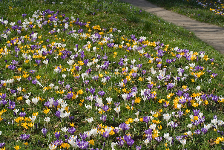 Crocus naturalized in lawn in many colors in spring bloom next to garden pathway