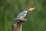 SEQUENCE 2 of 10.<br /> <br /> A young kingfisher swallows a large goldfish whole despite its prey being almost as large as it is.  The impressive meal was brought to the youngster by one of its parents as it sat on the branch of a dead tree.<br /> <br /> These photographs were taken by Chris Schlaf, at a lake in the garden of his home in the village of Romeo, Michigan, in the United States.  SEE OUR COPY FOR DETAILS.<br /> <br /> Please byline: Chris Schlaf/Solent News<br /> <br /> © Chris Schlaf/Solent News & Photo Agency<br /> UK +44 (0) 2380 458800