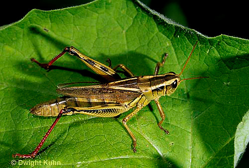 """OR01-036a  Grasshopper - short horned or """"true"""" grasshopper, two-striped grasshopper - Melanoplus bioittatus"""