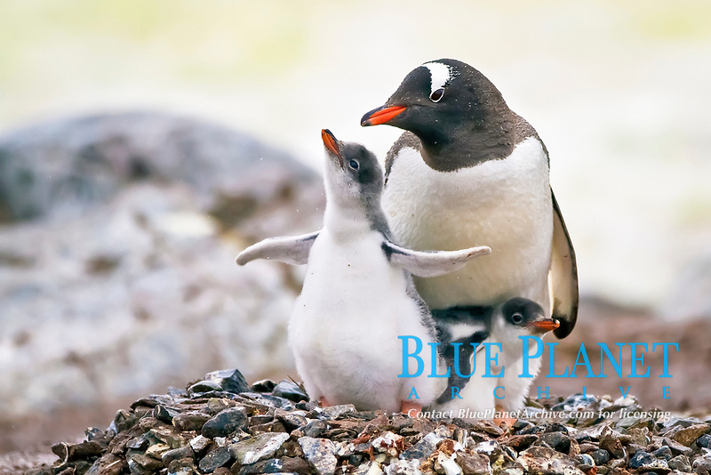 gentoo penguin, Pygoscelis papua, adult with chicks, Cuverville Island, Antarctica, Southern Ocean