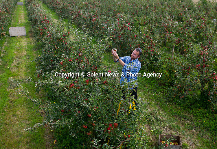 """Pictured: Colin Pratt inspects the crop of cox apples in one of the orchards on the Leckford Estate in Hampshire ahead of the annual harvest next week. <br /> <br /> Nearly 16,000 trees at Leckford will be picked for fruit in this year's harvest, with all the hand-picked produce heading to the shelves in Waitrose stores nationwide.<br /> <br /> Fruit Farm Manager Colin Pratt said """"The rain and cooler nights came just in time after a long, dry spell which has given the cox apples their vibrant red hue"""". <br /> <br /> © Jordan Pettitt/Solent News & Photo Agency<br /> UK +44 (0) 2380 458800"""