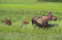 Moose (Alces alces), female with young, Moose Flats, Alaska