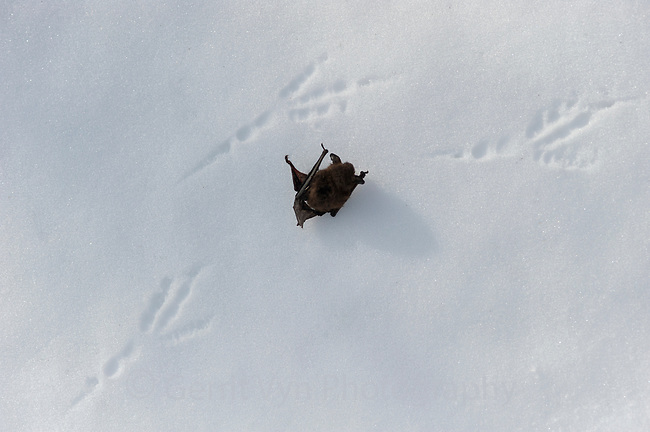 A dead Little Brown Bat lies in the snow outside of Vermont's Aeolus Cave. Scavengers and predators such as the Common Raven take advantage of the easy meals.