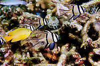 Banggai cardinalfish, Pterapogon kauderni, and lemon damselfish, Pomacentrus moluccensis, Sulawesi, Indonesia, Indo-Pacific Ocean