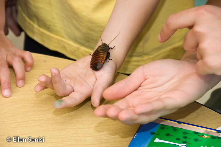 MR / College Park, Maryland.Center for Young Children, laboratory school within the College of Education at the University of Maryland. Full day developmental program of early childhood education for children of faculty, staff, and students at the university..Student lets classroom pet (hissing cockroach) crawl up his arm; teacher supervises..MR: AH-gPcyc.© Ellen B. Senisi