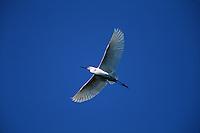 A Snowy egret (E. thula)in flight.