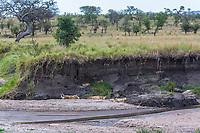 Tanzania. Serengeti. Adult Lions Sleeping, Cubs Awake, in Shade of a Streambed.