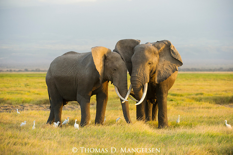 The last light of day paints the grasslands of Amboseli National Park, Kenya, as two young male elephants joust and play.