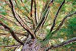 Cupressaceae - Zypressengewächse