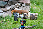 Inquisitve squirrel investigates unattended camera by Paul Masterton